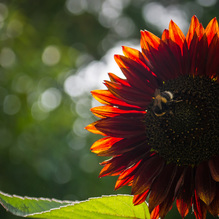 A backlit orange sunflower with bumblebee and bokeh