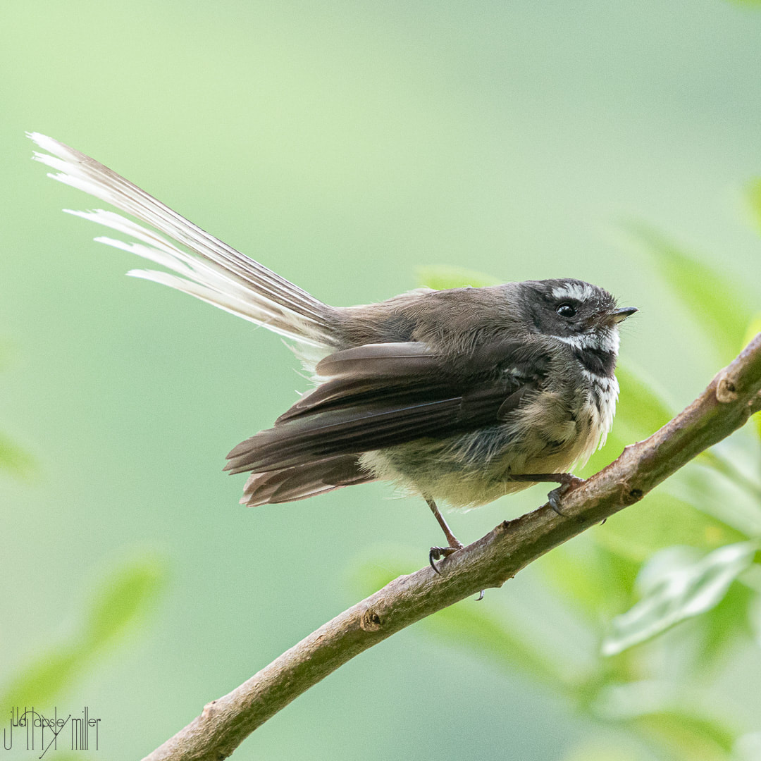Pīwakawaka (fantail) in profile on a branch
