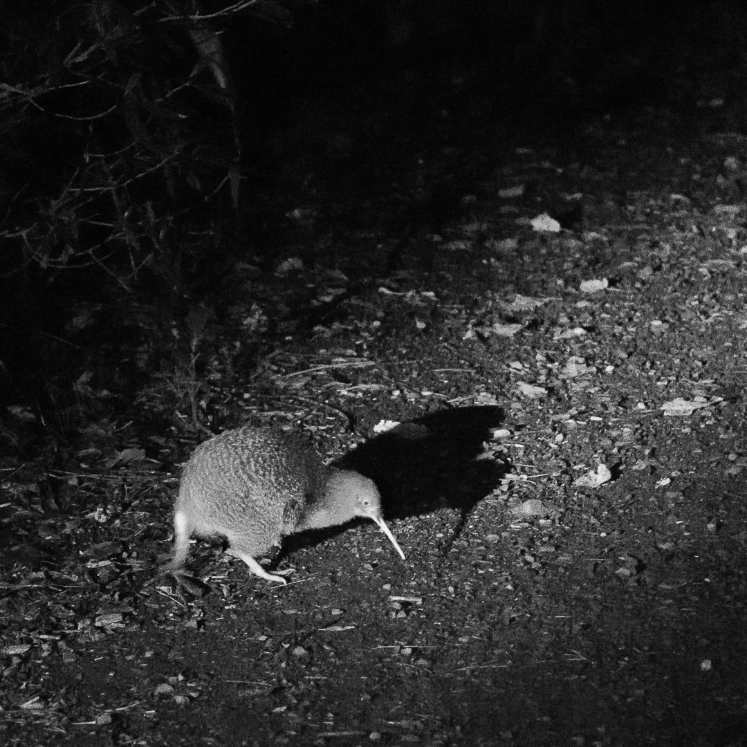 A kiwi and its iconic sillouhette taken at night
