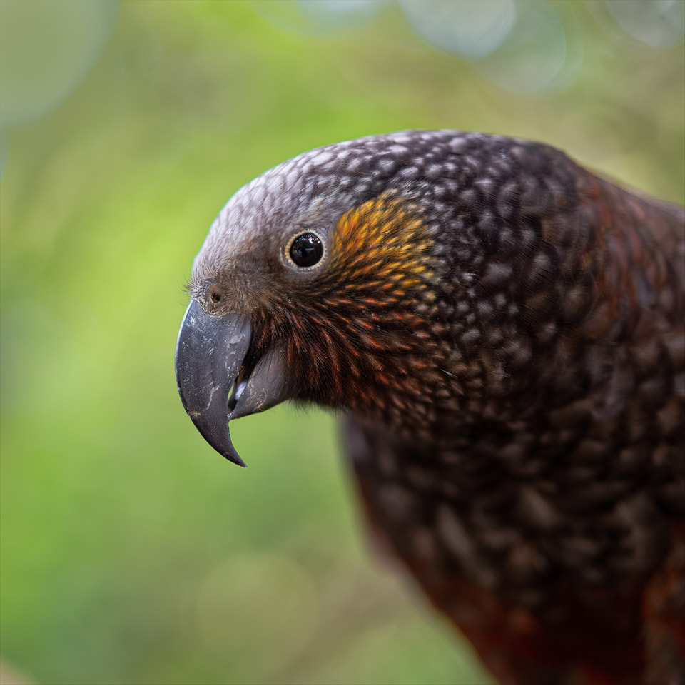 Photo of a kākā