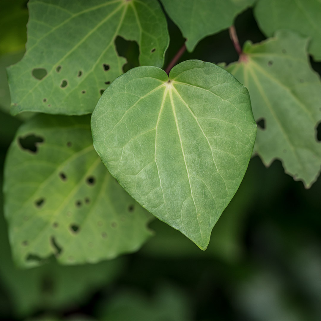 Kawakawa leaves by photo artist Judi Lapsley Miller