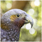 Profile portrait of a female kākā